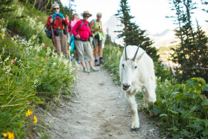 Hikers pause to watch a mountain goat walk along the Highline Trail in Glacier National Park.
